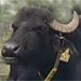 Antibodies for Water Buffalo