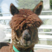 Antibodies for Llamas and Alpaca